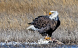 Bald Eagle feasting on a Snow Goose, Bosque del Apache National Wildlife Refuge, NM