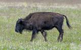 Young buffalo, North Rim Meadow, Grand Canyon National Park, AZ