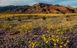 Sand Verbena and Desert Sunflowers near Ashford Mills, Death Valley National Park, CA