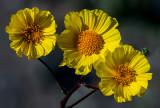 Desert Gold Sunflowers, Death Valley National Park, CA
