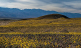 Desert Sunflowers with Shoreline Butte in distance, Death Valley National Park, CA