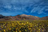 Desert Gold Sunflowers near Ashford Mills, Death Valley National Park, CA