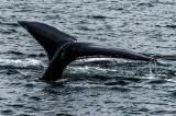 Humpback Whale Tail near Juneau, AK