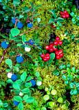 Blueberries, Lingonberries, and Sphagnum Moss, boreal forest groundcover, Denali National Park AK