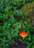 Bunchberry and mushroom, boreral forest groundcover, Denali National Park, AK