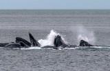 Humpback Whales bubble net feeding near Juneau, AK