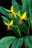 (MW33) Yellow Trout Lily, IL