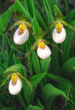 (PR20) White Lady's-slipper