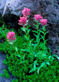 Paintbrush, Mt. Rainier National Park, WA