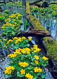 (MW3) Marsh Marigolds, Daniel Wright Woods, Lake County, IL