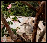 Black Crowned Night Herons 0033