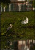 2121 Great Egret Blue heron 900.jpg