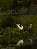 2122 Great Egret Blue Heron 900.jpg
