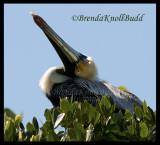 Bird Island Pelican face 052  125.jpg
