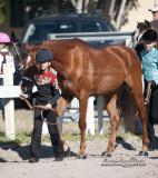 8.Beginner Western Horse Showmanship
