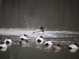 Canvasbacks at the Marina: BESP