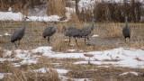 5 Sandhill Cranes in Centre County, PA