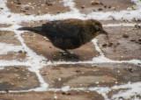 Rusty Blackbird refuels in Howard, PA