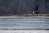 BASIC IV Bald Eagle recently at the beach area, BESP, PA