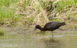 Glossy Ibis at Central Mountain High School wetland, Mill Hall, PA