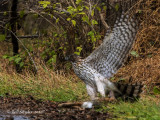 Juvenile Cooper's Hawk eating roadkill rabbit