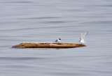 Sabine's Gull and Arctic Tern on log