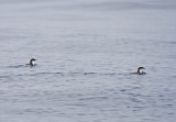 Scripps's Murrelet and chick