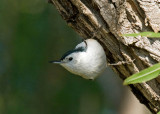 Chickadee & Wren-like Songbirds