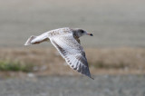 Odd California Gull