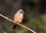 Flycatcher-like Birds