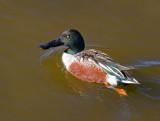 Swimming Waterbirds