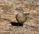 Thrush-like Songbirds