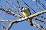 Thick-biled Kingbird