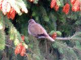 IMG_0710_eurasian_collared_dove.jpg