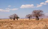 Baobabomen  in landschap