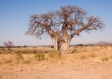Baobabboom