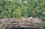 Dramatisch einde van broedseizoen 2014. !!  Allebei de kuikens dood door onderkoeling en /of zware regenval .!!!!