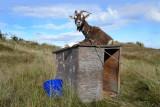 Lies goat