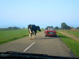 Cow in the fast lane