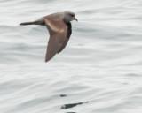 Birds -- Half Moon Bay Pelagic, July 21, 2013