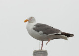 Western Gull, adult with missing foot