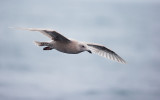 Glaucous-winged Gull, first cycle