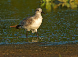 Laughing Gull, first winter