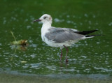 Laughing Gull, adult non-breeding