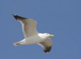 Western Gull, adult flying
