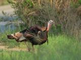 Wild Turkey, male