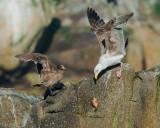 Heermann's Gull challenging Western Gull with fish