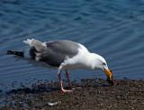 Western Gull, adult eating crab