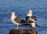 Western Gulls, adult pair