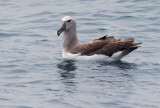 Salvin's Albatross, July 2014